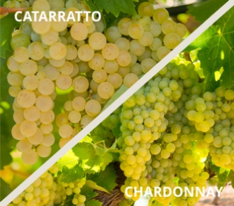 catarratto chardonnay uva