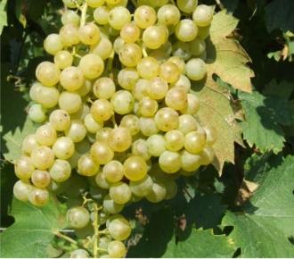 grecanico uva
