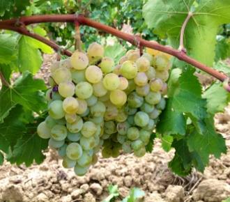 grillo uva