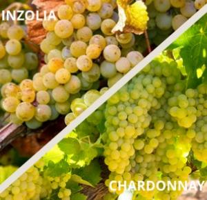 inzolia-chardonnay-uva