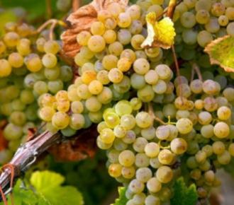 inzolia uva