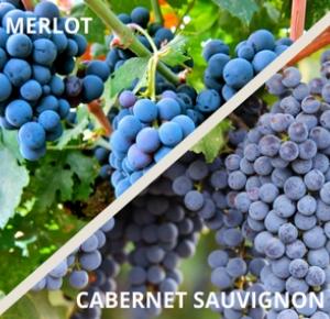 merlot-cabernet-uva