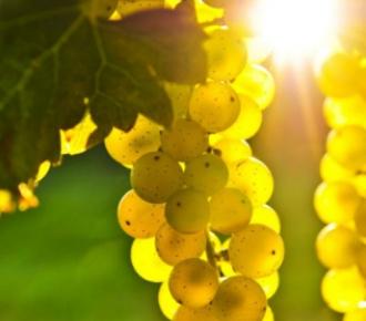 moscato uva