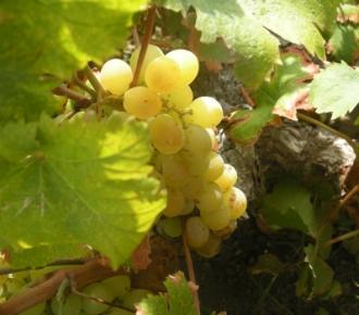 zibibbo uva